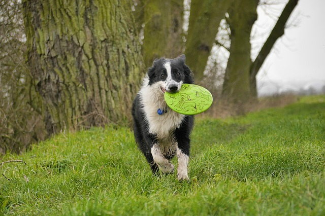 Dog fetching frisbee